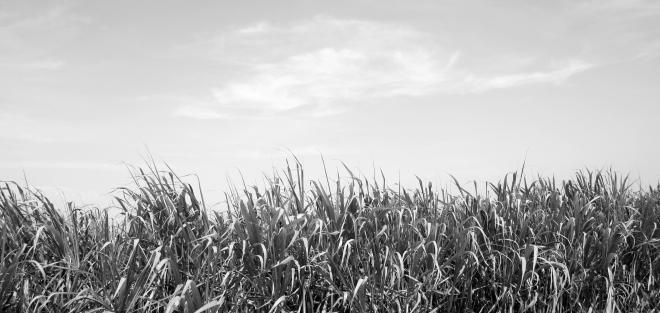 Campos de caña de azúcar bañados de sol • Sun-bathed sugar cane fields