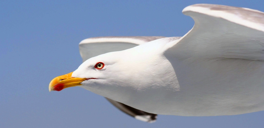 Gaviota • Seagull